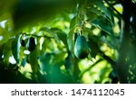 Small photo of avocados growing on tree in orchard, mexicola avocado on tree, smooth avocado, green fruit, green leaves, young tree bearing fruit, avocado on tree