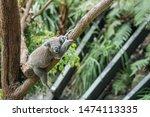 Lazy Koala Sleeping In The Tree
