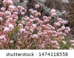 Wild California Pink Buckwheat...