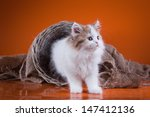 scottish kitten | Shutterstock . vector #147412136