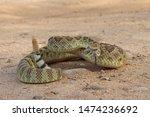 Mojave Rattlesnake In Arizona ...