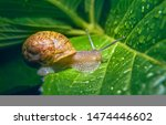 Live Snail Eating In The Green...