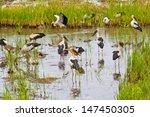 Birds Feeding In Rice Fields...