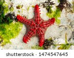 African Red Knob Sea Star In...