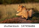 a young lion cub sits and soaks ... | Shutterstock . vector #147456686