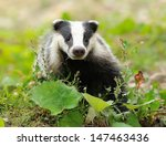 badger near its burrow in the... | Shutterstock . vector #147463436