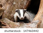 Badger Near Its Burrow In The...