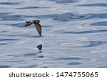 Small photo of Ashy Storm Petrel (Oceanodroma homochroa) in flight over the pacific ocean off the coast of California