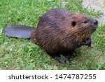 North American Beaver  Genus...