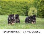 Stock photo adorable german shepherd puppys posing in summer 1474790552