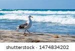 Adult European Herring Gull ...