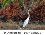 Great Egret at the El Paso, Texas Rio Bosque wetland.