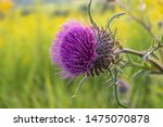 A Flower Of The Musky Thistle ...