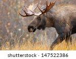 Moose Bull  Alaska  Usa