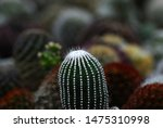 closeup cactus white thorn or... | Shutterstock . vector #1475310998