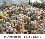 many mini cactus pot on the... | Shutterstock . vector #1475312348