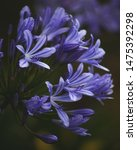 Blue And Purple Agapanthus...