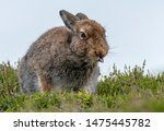 Stock photo mountain hare lepus timidus sticking tongue out in summer pelage scottish highlands 1475445782