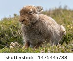 Stock photo mountain hare lepus timidus with back paw raised in summer pelage scottish highlands 1475445788