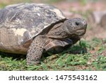 Stock photo a close up of a gopher tortoise gopherus polyphemus as it moves across a lawn a reptile the 1475543162