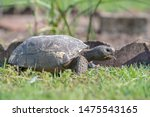 Stock photo a gopher tortoise gopherus polyphemus moves across a lawn feeding on grass as it goes a reptile 1475543165
