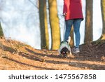 Stock photo in autumn a woman is walking in the forest with a disobedient young small tricolor jack russell 1475567858