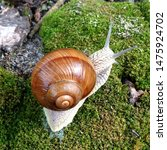 Small photo of Macro photo nature mollusk snail Helix pomatia. Snail in spiral shell. Snail on the background of moss.