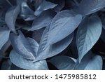 Blue Nature Of Devil S Ivy ...