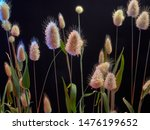Stock photo gentle flowering hare lagurus ovatus on black background 1476199652