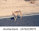 Coyote (Canis latrans) waking on the road in Death Valley National Park, California, USA