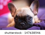 Stock photo small french bulldog puppy 147638546