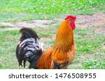 Rooster On Green Grass  Poultr...