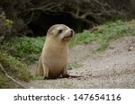 The Sea Lion Pup Is Walking On...