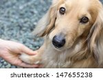 Stock photo friendship between human and dog shaking hand and paw blond miniature long hair dachshund 147655238