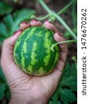 A Small Watermelon In The Hand. ...