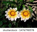 Two Summer Flowers Of Gazania