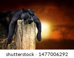 close black leopard on savanna... | Shutterstock . vector #1477006292