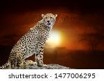 close cheetah on savanna... | Shutterstock . vector #1477006295