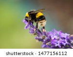 Bumblebee Feeding From A...