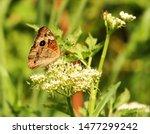 Lovely Buckeye Butterfly On A...