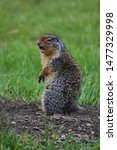 A Fox Squirrel  Sciurus Niger ...