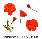 Set Of Red Geranium Flowers...