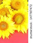 beautiful sunflowers on color