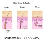 hair growth cycle | Shutterstock . vector #147789392