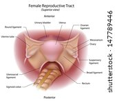 female reproductive organs ... | Shutterstock . vector #147789446