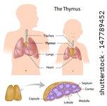 thymus gland anatomy | Shutterstock . vector #147789452