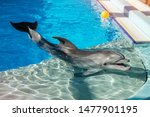 Trained dolphin in the aquarium, dolphinariums. show with dolphins. the trainer works with a trained dolphin in the pool. Copy space