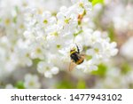 Bumblebee Pollinating Cherry...