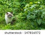 Portrait Of Blue Eyed Siam Cat...