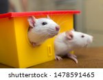 Stock photo two funny domestic pet rats and a toy house 1478591465